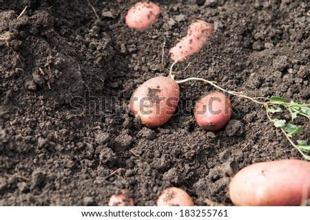 fresh and raw potato on a field, freshly dug. concept of healthy and bio food