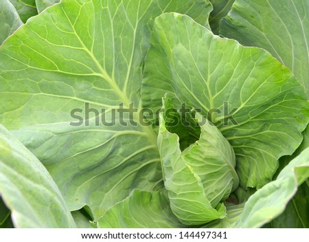 Fresh and ripe green collard growing in the garden - stock photo