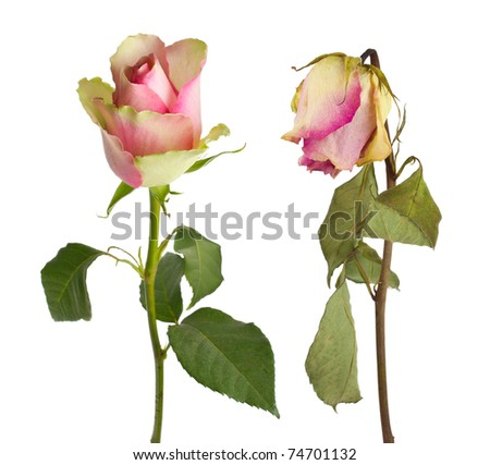 fresh and wilted rose - stock photo