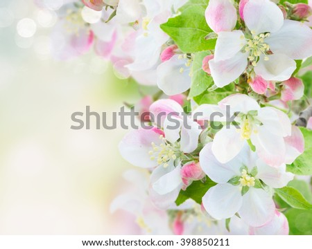 fresh Apple tree  twig with flowers and leaves on garden bokeh  background with copy space