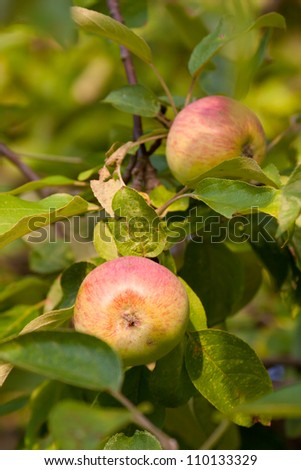 Fresh apples growing on the branch