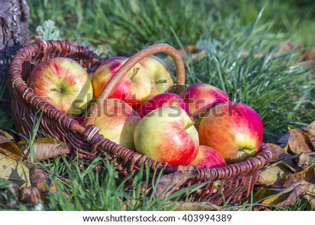 fresh apples in a basket - stock photo