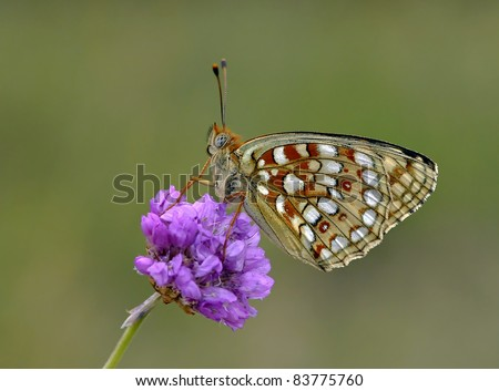 Fresh Argynnis niobe (Niobe Fritillary) Butterfly on a purple flower Thrift seapink  (Armeria maritima)