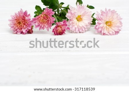 Fresh autumn pink chrysanthemums on white painted wooden planks. Selective focus. Place for text. Shallow DOF. - stock photo