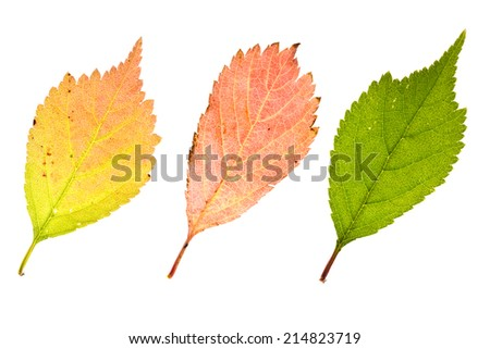 Fresh autumn sakura leaves isolated on white - stock photo