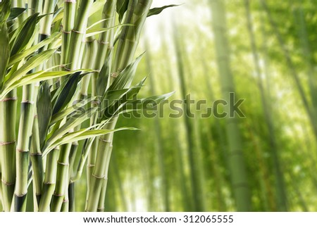Fresh Bamboo With Bamboo Forest Background - stock photo