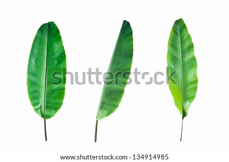 Fresh Banana Leaf Isolated on white background - stock photo