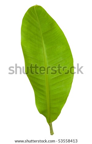 Fresh Banana Leaf Isolated with Clipping Path 2 - stock photo