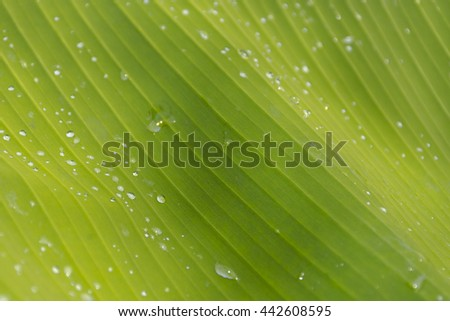 Fresh banana leaf suitable for background nature or background green  and leaf  - stock photo