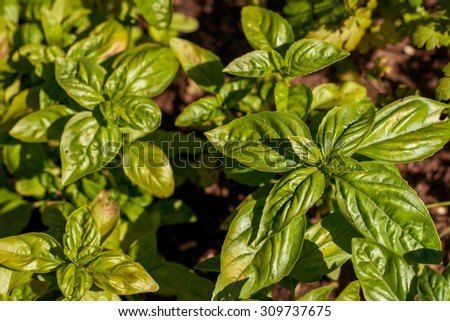 fresh basil growing in the countryside in summer - stock photo