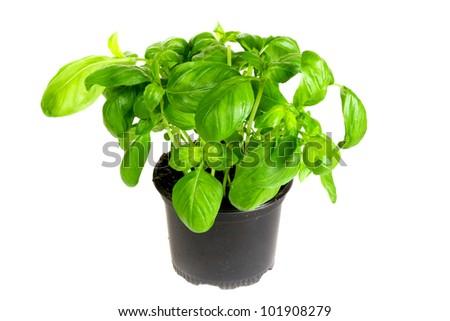 Fresh basil herb - stock photo