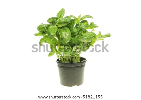 Fresh basil herb growing in a pot