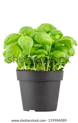 Fresh basil in a black, plastic pot. Isolated on white. Isolated with clipping paths.