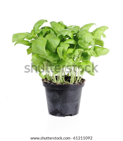 Fresh basil in plastic pot, isolated on white - stock photo