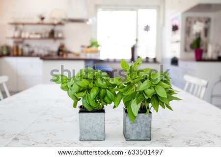 fresh basil in pots at the kitchen table with kitchen interior unfocused in the background