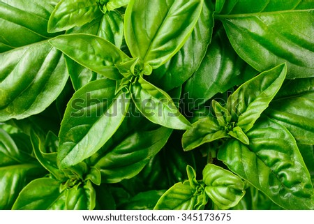 Fresh basil leaves. - stock photo