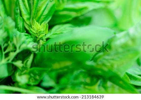 Fresh Basil Leaves close-up background - stock photo
