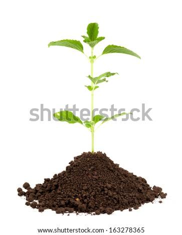 fresh basil plant - stock photo