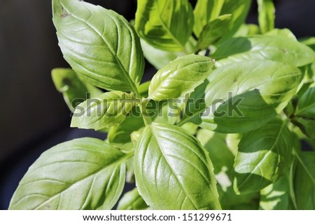 Fresh Basil plant herb ready to pick - stock photo