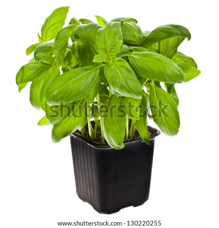 fresh basil plant in a container isolated on white background