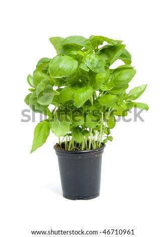 fresh basil plant in black pot isolated on white background - stock photo