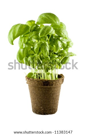 Fresh basil plant isolated on white background - stock photo