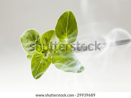 Fresh basil sprig - stock photo
