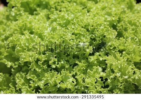 Fresh Batavia Lettuce - stock photo