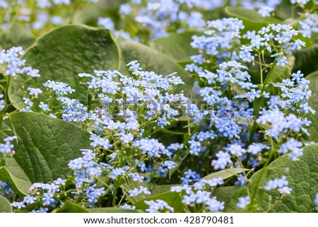 Fresh beautiful blue forget-me-not flowers, myosotis, background - stock photo