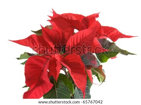 fresh beautiful green and red poinsettia (Euphorbia pulcherrima); plant isolated on white background; - stock photo