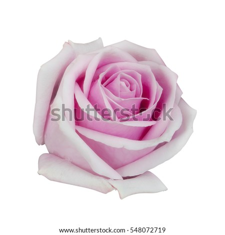 fresh beautiful pink rose petal and aroma with drop of water for love flower or valentine day on white background isolated included clipping path for easy cut