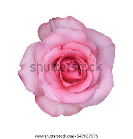 Fresh Beautiful Pink Rose Petal And Aroma With Drop Of Water For Love Flower Or Valentine