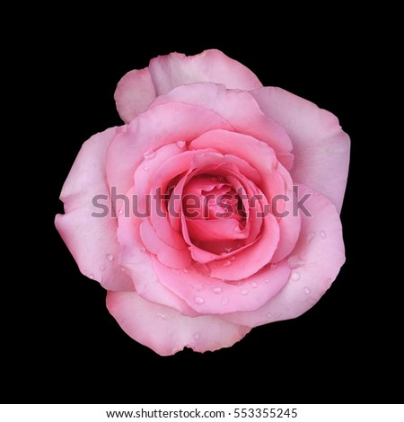 fresh beautiful pink rose petal and aroma with drop of water for love flower or valentine day on black background isolated included clipping path