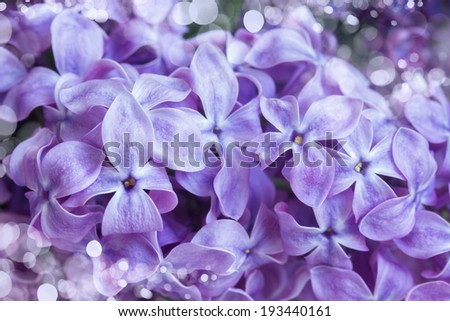Fresh beautiful violet lilac flowers close up