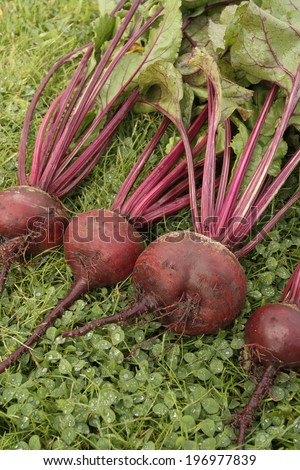 Fresh beetroot root vegetables bunch - stock photo