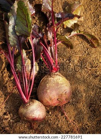 fresh beets from the vegetable garden - stock photo