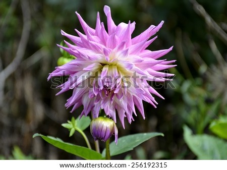 Fresh bloomed dahlia flower and green leaves  - stock photo