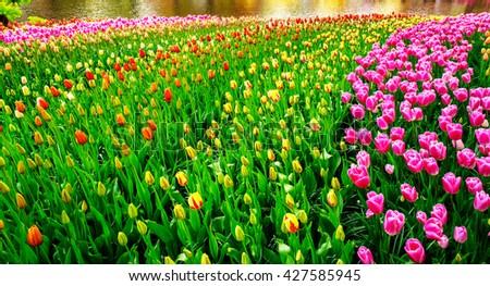 Fresh blooming tulips near pond in the nice spring garden.  - stock photo