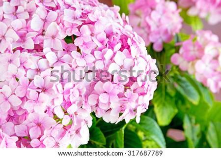 fresh blossom hydrangea flowers - stock photo