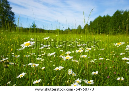 Fresh blossoming meadow, near to wood on which camomiles grow - stock photo