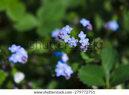 Fresh blue forget-me-not flower in the garden - stock photo