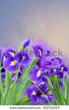 fresh blue irises flowers on violet bokeh background