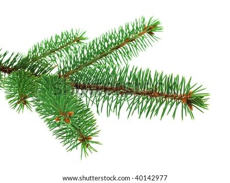 Fresh blue spruce branch on white background - stock photo
