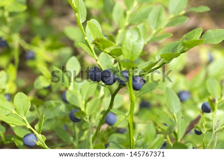 fresh blueberries bush in the woods, organic healthy fruits - stock photo