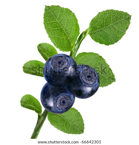 fresh blueberry bunch closeup macro isolated on a white background - stock photo