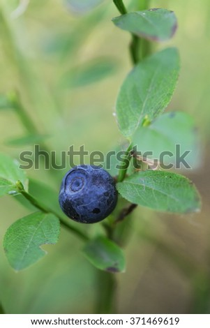 fresh blueberry with leafs on natural background  - stock photo