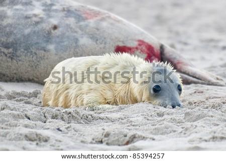 fresh born grey Seal (Halichoerus grypus) on the Beach - stock photo