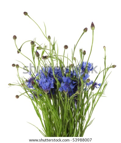 Fresh bouquet of cornflower Isolated on white background