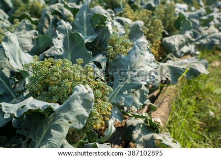 Fresh Broccoli plant in the garden - stock photo