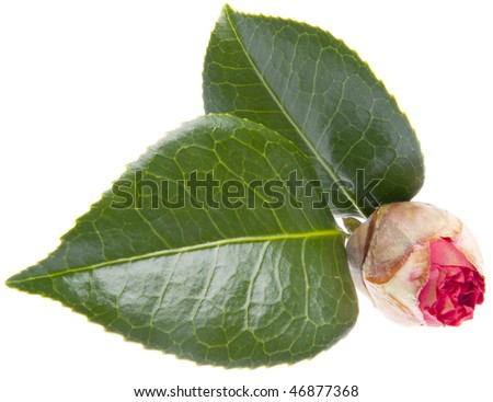 Fresh bud just starting to open for a pink or red flower isolated on white with a clipping path.